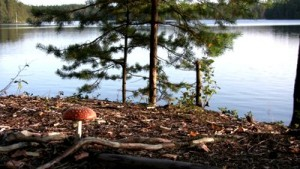 stock-footage-fly-agaric-mushroom-near-lake